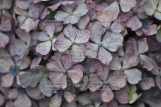 雨上がりの紫陽花の写真・画像素材[812538]