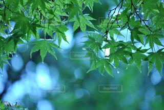 雨と青紅葉の写真・画像素材[812558]