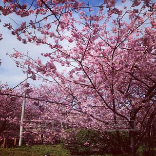 春,桜,花見,観光,ピンク色,河津桜,ロケ地,春の訪れ,静岡県,伊豆半島,河津桜祭り,伊豆ジオパーク