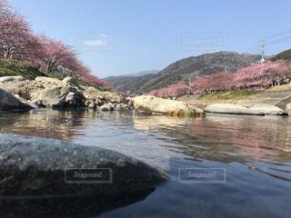 桜,屋外,水面,鮮やか,美しい,静岡県,河津町