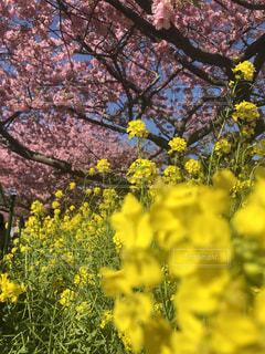 花,屋外,ピンク,花見,景色,鮮やか,草木