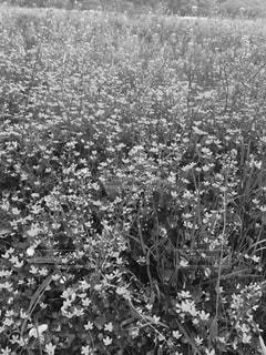 花の黒と白の写真 - No.849066