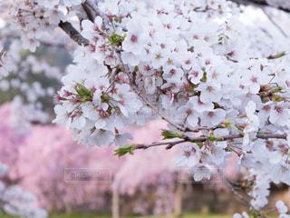 桜の写真・画像素材[1134849]