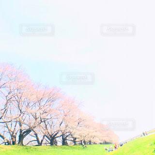 淀川河川公園   京都八幡市   桜  人気  花見