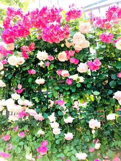 ピンク薔薇の写真・画像素材[1434096]