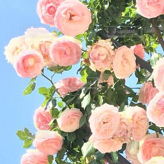 自然,ピンク,植物,薔薇,中之島公園,フォトジェニック,薄ピンク,色・表現