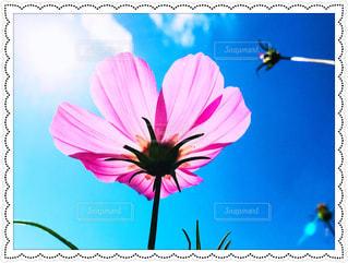 風景,空,ピンク,コスモス,雲,青,秋空,フォトジェニック,多色,色・表現,感覚・感情