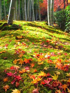 もみじと苔と竹林のコラボの写真・画像素材[1665860]
