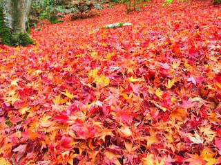 紅葉の絨毯の写真・画像素材[1666153]