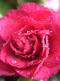 雨の中の薔薇の写真・画像素材[1790956]