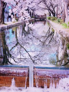 川の側で立つ桜の木々🌸の写真・画像素材[1935199]