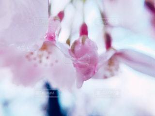 雨の日の桜🌸の写真・画像素材[1998602]