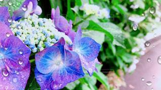 梅雨と紫陽花の写真・画像素材[2181605]