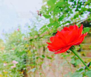 自然,花,緑,植物,撮影,レンガ,フィルム,フィルムカメラ,フィルム写真,ばら,赤い薔薇,フォトジェニック,ハーブガーデン,フィルムフォト
