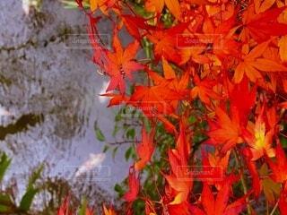 池の鯉と紅葉の写真・画像素材[3798874]