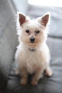 カメラを見て小さな白い犬 - No.1005818