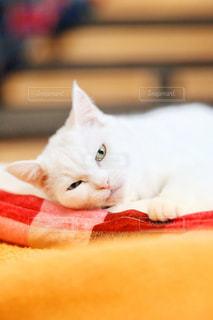 ベッドの上で横になっているオレンジと白猫 - No.1005827