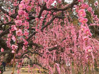 ピンク色の枝垂れ梅の写真・画像素材[1820342]
