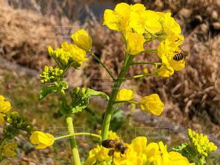 春,黄色,菜の花,京都府,きいろ,yellow,木津川市