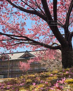 家族,風景,空,花,春,桜,木,屋外,ピンク,青空,花見,草,背景,お花見,flower,テクスチャ,pink,桜の花,Sakura,さくら,ブロッサム