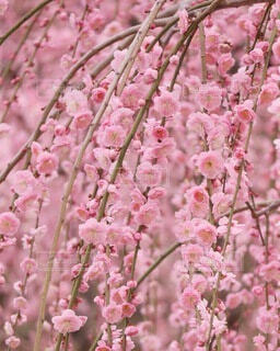 花,春,ピンク,癒し,可愛い,flower,梅の花,まつり,しだれ梅,城南宮