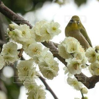 花,春,鳥,白,可愛い,野鳥,メジロ,flower,梅の花,まつり,しだれ梅,ウメジロー,梅ジロー,城南宮