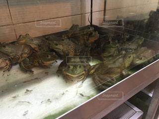 食用ガエルの写真・画像素材[732111]