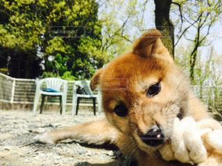 地面に横たわっている大きな茶色の犬 - No.871008