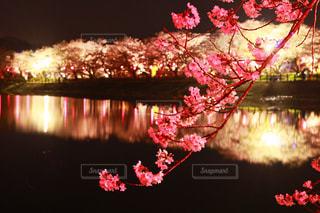 夜桜の写真・画像素材[1127342]