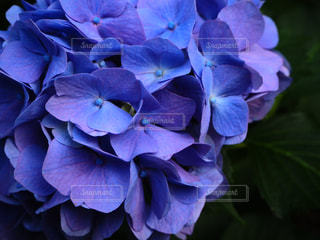 花,屋外,あじさい,紫,紫陽花,梅雨,6月