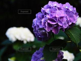 花,屋外,綺麗,あじさい,紫,紫陽花,梅雨,6月