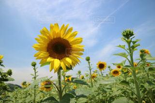 黄色の花の写真・画像素材[868112]