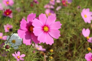 近くの花のアップの写真・画像素材[868965]