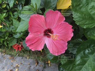 緑の葉と赤い花の写真・画像素材[1381592]