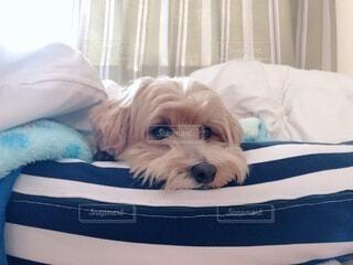 犬,動物,屋内,白,かわいい,景色,寝転ぶ,枕,子犬,マルチーズ,ベッド