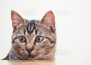 カメラを見ている猫の写真・画像素材[1277436]