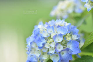 紫陽花,梅雨