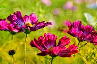 花,ピンク,コスモス,高根沢グリーンパーク