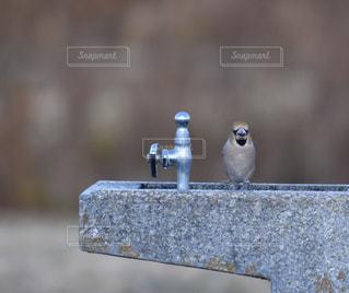 水道の水が好きな鳥の写真・画像素材[2141774]
