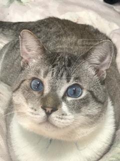 横になって、カメラを見ている猫の写真・画像素材[733228]