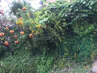 雨の日の柿の木の写真・画像素材[842985]