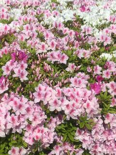 花,ピンク,満開,ツツジ