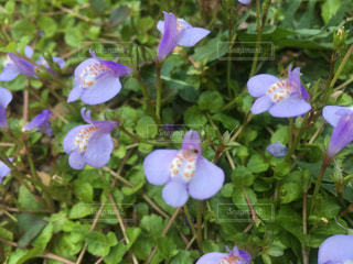 花,綺麗,すみれ,可愛い花,庭の雑草