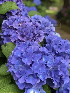 あじさい,紫陽花,ポートレート,梅雨,6月,ボカシ