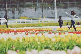 チューリップ畑の少女の写真・画像素材[732789]