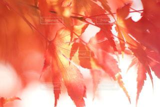 真っ赤な秋の写真・画像素材[812498]