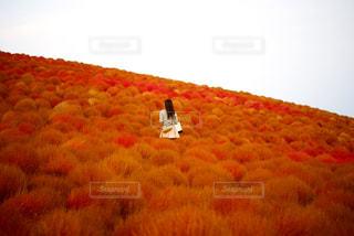 コキア畑の女性の写真・画像素材[843887]