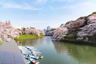 千鳥ヶ淵の桜の写真・画像素材[1126887]