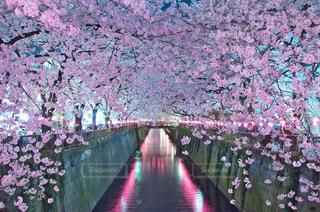 目黒川の桜の写真・画像素材[1130361]