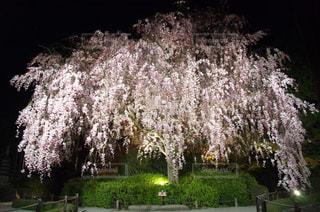 満開の枝垂れ桜の写真・画像素材[1130364]